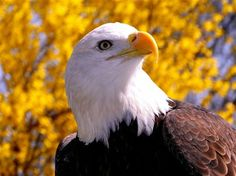 The Magestic Bald Eagle ~ The U.S. National Bird