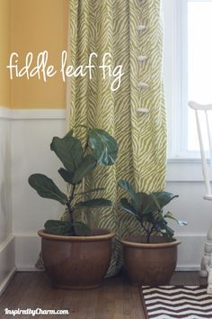 Fiddle Leaf Fig- colors scheme with the black and white rug and dark floors yellow and white walls and green accents Inside Plants, Cool Plants, White Rug, White Walls, Black Walls, White White, Indoor Trees, Fiddle Leaf Fig Tree, Bonnie N Clyde