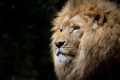 Lion, Villi, Afrikka, Afrikkalainen