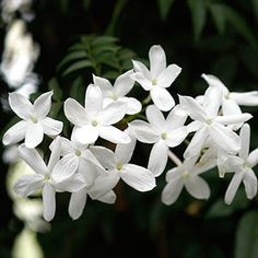 Few vines rival jasmine for beauty and fragrance. This easy-to-grow climber produces beautiful clusters of starry flowers you can smell from feet away. Most jasmines bloom in late winter or early spring, but some such as Arabian jasmine will flower throughout the year.