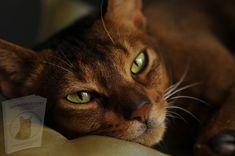 Crazy Cat Lady, Crazy Cats, Types Of Cats, Cat Supplies, Warrior Cats, Domestic Cat, Beautiful Cats, Cat Life, Cat Breeds