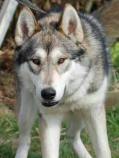 Tamaskan- looks just like a wolf <3