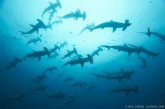 School of scalloped hammerhead sharks. Darwin, Galapagos.