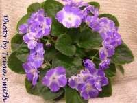 Silverglade Jewels African Violet Society of America | Promoting and Growing the African Violet since 1946