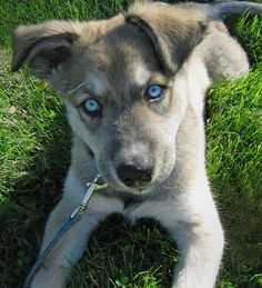 German Shepherd/Husky Mix puppy. So freakin adorable! :)
