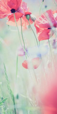 Image via We Heart It #flowers #pink #poppies