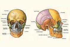 Skin Anatomy, Anatomy Bones, Human Skeleton Anatomy, Human Anatomy, Anatomy Reference, Drawing Reference, Body Study, Nursing School Notes, Medical Anatomy