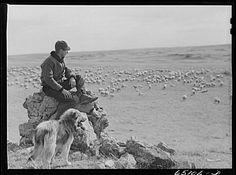 McCone County, Montana. Herder watching his sheep. (1942.)