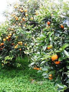 San Diego orange grove Teeth In A Day, Orange Grove, Orange Fruit, Dental Implants, Orange Blossom, Fruit Trees, Botany, North America