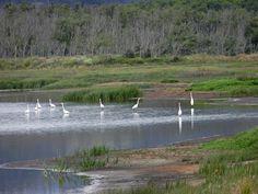 Great Egrets at Humboldt Bay National Wildlife Refuge, Eureka, California Photo by Diane Cavaness Eureka California, Central California, Northern California, Humboldt Bay, Humboldt County, Biomes, Bird Watching, Mother Earth, Wonderful Places