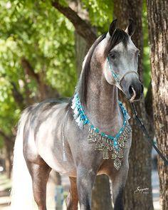 Arabian,
