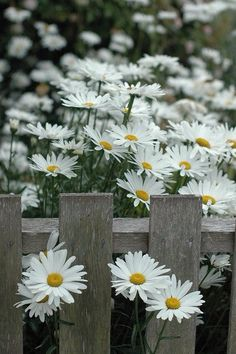 Marguerites make me smile