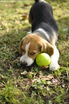 moody-bebe-chiot-beagle-balle.jpg (Image JPEG, 2848×4288 pixels) - Redimensionnée (13%)