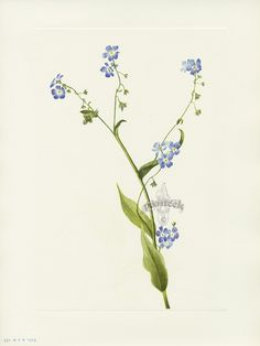 """Antique prints of """"Bur-Forget-Me-Not"""" from Walcott North American Wild Flowers 1925"""