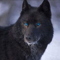 beautiful black wolf - Buscar con Google