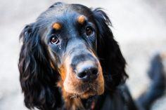 Scottish Gordon Setter with puppy eyes
