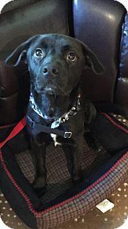 Arlington Heights, IL - Labrador Retriever Mix. Meet Jacob, a dog for adoption. http://www.adoptapet.com/pet/15475902-arlington-heights-illinois-labrador-retriever-mix