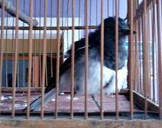 Suara Kacer Betina – Burung yang juga biasa disapa dengan julukan kucica kampung ini, ternyata juga kerap macet bunyi, khususnya bagi yang berjenis kelamin jantan. Sehubungan dengan itu, penyebab ... Read moreDownload Suara Kacer Betina untuk Pancingan Predator