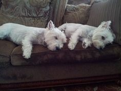 Awwwww!  Westie Could be Sadie and Bella