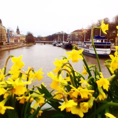 Spring and daffodils in #Turku #Finland janholmberg.weebly.com
