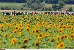 Stage 11: Besançon - Oyonnax 187.5km - The peloton passes by a field of sunflowers