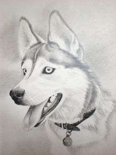 Charcoal Drawing Siberian Husky | Husky Drawing A husky named myka