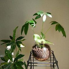 熱帯性の樹木パキラは、耐陰性や耐寒性に優れ育てやすい観葉植物。インテリア性も高く人気のグリーンです。 Indoor Garden, Indoor Plants, Plants Are Friends, Green Flowers, Plant Decor, Terrarium, Interior, Home Decor, Gardening