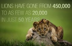 Lions Have Gone From 450,000 To As Few As 20,000 In Just 50 Years