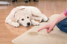 Remove dog pee in rugs from Rug Shop and More. Rug Shop and More provides easy solutions to help remove dog pee in your rug. Keep your rugs clean from dog pee. Puppy Potty Training Tips, Training Your Dog, Agility Training, Dog Urine, Pet Odors, Dog Potty, Dog Pee, Vicks Vaporub, Dog Training