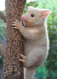 Golden bush-tail possum