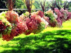in order to keep the color of hydrangeas when they dry, you need to pick the hydrangea just as it begins to turn color but before it starts to wilt. Pick it too soon, the color won't stay when you hang them and the shape wont stay if you pick it too late.
