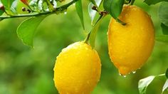 The Meyer Lemon Tree is a fun tree that always seems to be blooming or fruiting. Many Meyer Lemon Trees are blooming now, bringing beautiful flowers and a wonderfully fresh citrus scent to many homes. Citrus Trees, Fruit Trees, Home Remedies, Natural Remedies, Water Retention Remedies, Meyer Lemon Tree, Potager Bio, Orange Fruit, Lemon Essential Oils