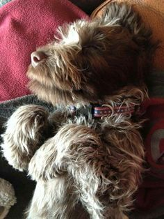 Wirehaired Pointing Griffon Pup ~ Classic Look Baby Puppies, Baby Dogs, Dogs And Puppies, Doggies, Cute Animal Pictures, Puppy Pictures, Dog Photos, Petit Basset Griffon Vendeen, Griffon Dog