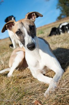 Graceful pose #whippet #yummypets                                                                                                                                                                                 Plus