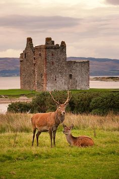 Red Deer in Lochranza