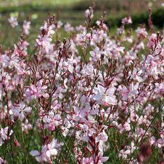 Native Plants, Garden Landscaping, Bloom, Landscape, Pink, Balcony, Flowers, Dwarf, Tattoo