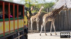 Wildlands Emmen. #Giraffen, #Safari, #Emmen