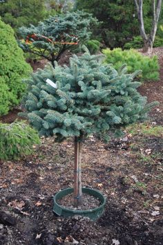 Picea pungens Globosa on Standard: Deer Resistant Great color year round marries with outstanding, dense, rounded form to create the ultimate easy care small garden specimen for your landscape. It is grafted on a standard. Dwarf Trees For Landscaping, Colorado Landscaping, Garden Landscaping, Landscaping Ideas, Deer Resistant Landscaping, Deer Resistant Plants, Garden Shrubs, Garden Plants, Flowering Plants