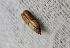 Pantry moths are unwelcome pests that love to eat the food in your pantry. Here's how to get rid of pantry moths for good. Pantry Moth Larvae, Moth Life Cycle, Getting Rid Of Moths, Moth Cocoon, Macaroni Art, Pantry Moths, Eat You Out, Lavender, Closets
