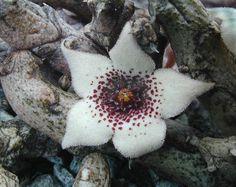 stapelianthus arenarius #houseplant