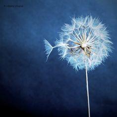 FLOWERS ~ DANDELIONS ♡ PHOTOGRAPHY ♡