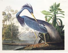 Louisiana Heron by James John Audubon. This  print is one of many in our collection from the 1973 Leipzig edition. This edition is known for it's very fine color printing. These prints are scarce on the market.