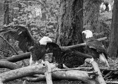 Bald Eagles at Northwest Trek in Washington