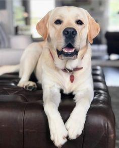 best Labrador stikers for Perro Labrador Retriever, Baby Labrador, Silver Labrador Retriever, Black Labrador Dog, Labrador Puppies, Retriever Puppies, Corgi Puppies, Chocolate Lab Puppies, Chocolate Labrador Retriever