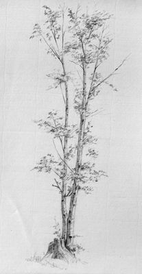 Zoey Frank Tree Study 2 Graphite on Paper 11 x 7.5 inches