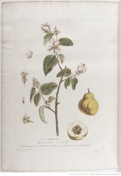 Cognassier, La botanique mise à la portée de tout le monde... Exécuté et publié par les Sr et De Regnault.... Tome 2 | 1774