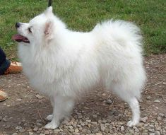 Do you love white small dogs? Here is a list of 10 Cutest Small White Dog Breeds that are very friendly and can play around with kids. Cutest Small Dog Breeds, Cute Small Dogs, Samoyed Dogs, Purebred Dogs, Pomeranians, Pomeranian Breed, Beautiful Dogs, Animals Beautiful, Cute Animals