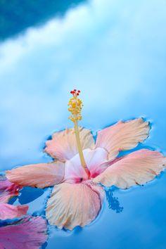 Floating hibiscus...
