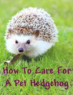 Pet Care How Much Work And Care Does A Pet Hedgehog Require