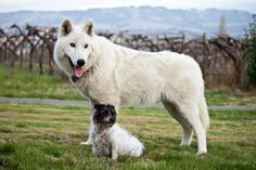Wolf hybrid and little terrier friend